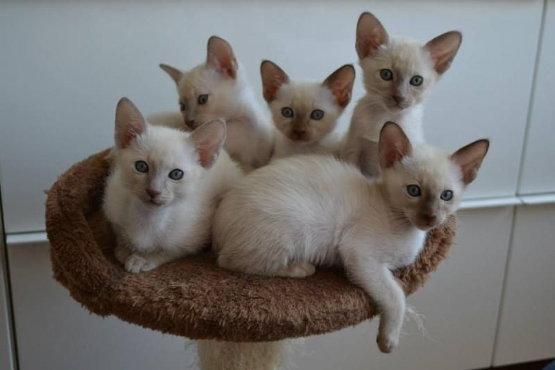 Tonkinese Kittens Cattery Lavadablu The Netherlands