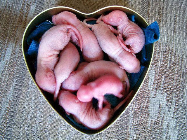 Pinkies Baby Rats Pet Rodents Rats