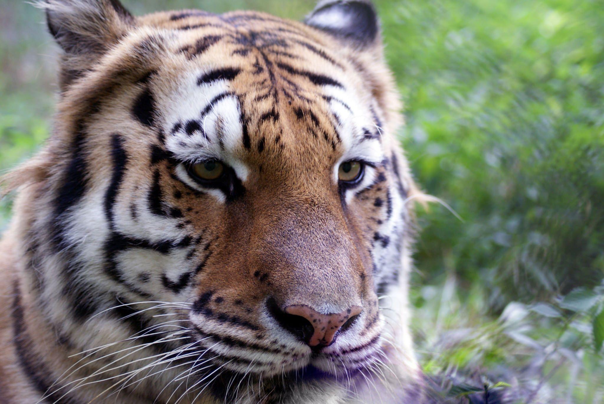 Aria Tiger | Carolina Tiger Rescue