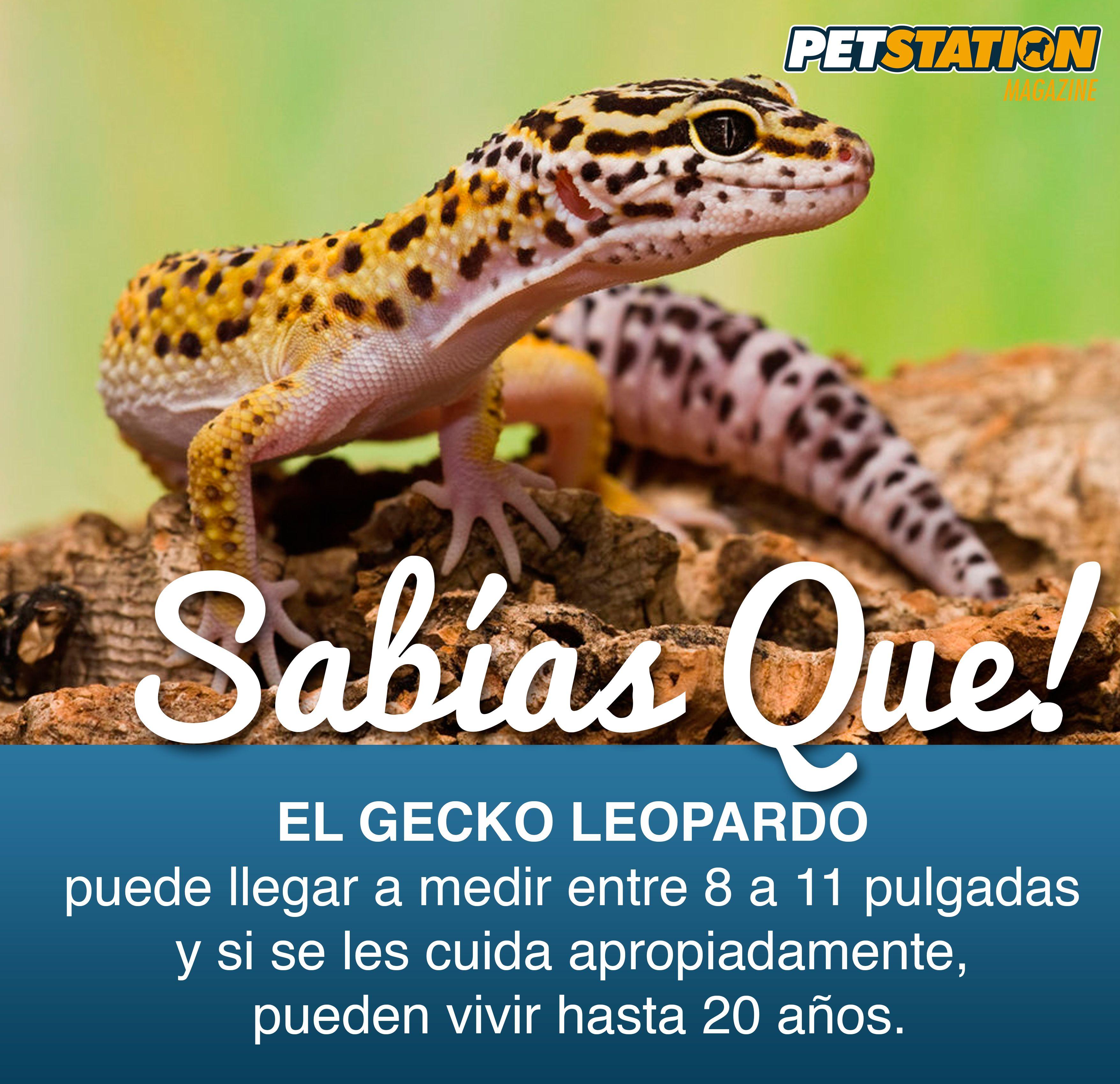 Gecko Leopardo Sabias que? Did you know? | Reptiles | Pinterest ...