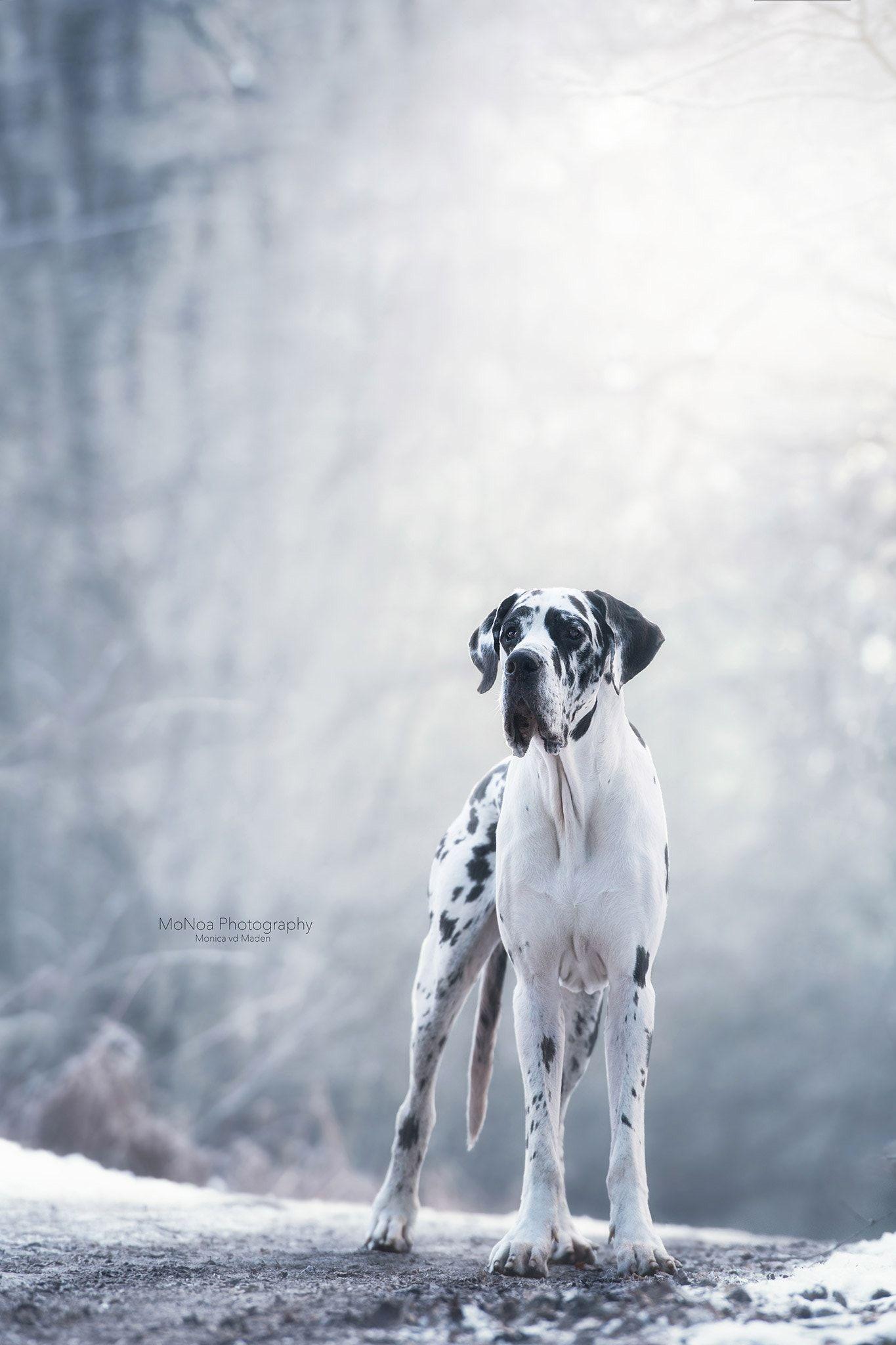 Pin Von Asti De Chaosqueen Auf Hunde Dog S Puppies Welpen Alle Rassen Spruche Deutsche Doggen Hundebilder Hunde