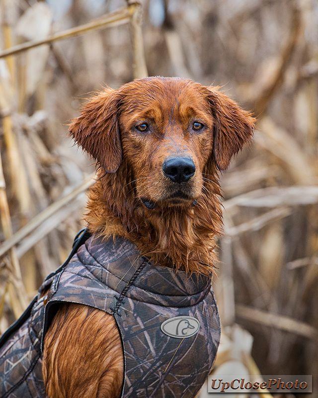 Tdog 8x10 V2w Hunting Dogs Dogs Golden Retriever Dogs