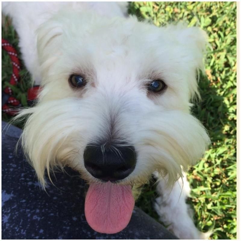 Adopt Christopher Plummer Adopted On Petfinder Coton De Tulear