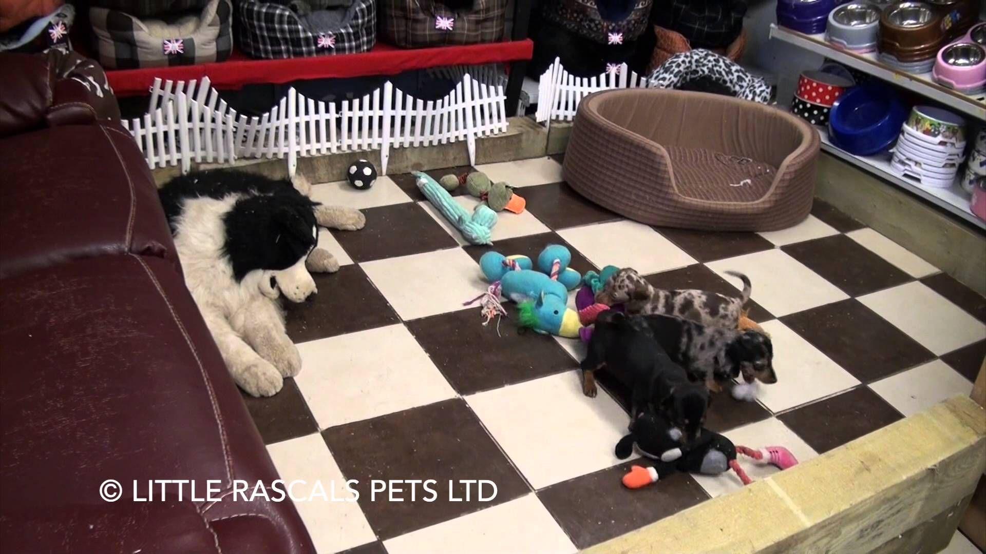 Little Rascals Uk Breeders New Litter Of Miniature Dachshund Pups