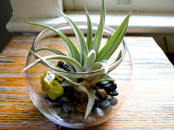 12 Air Plant Terrariums Air Plants In Glass Terrariums Bulk