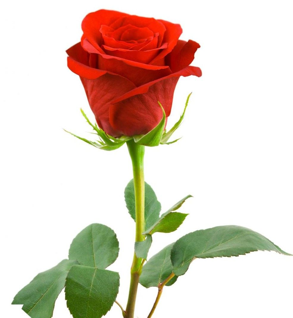 The red rose not only carries more meaning than any other color ...