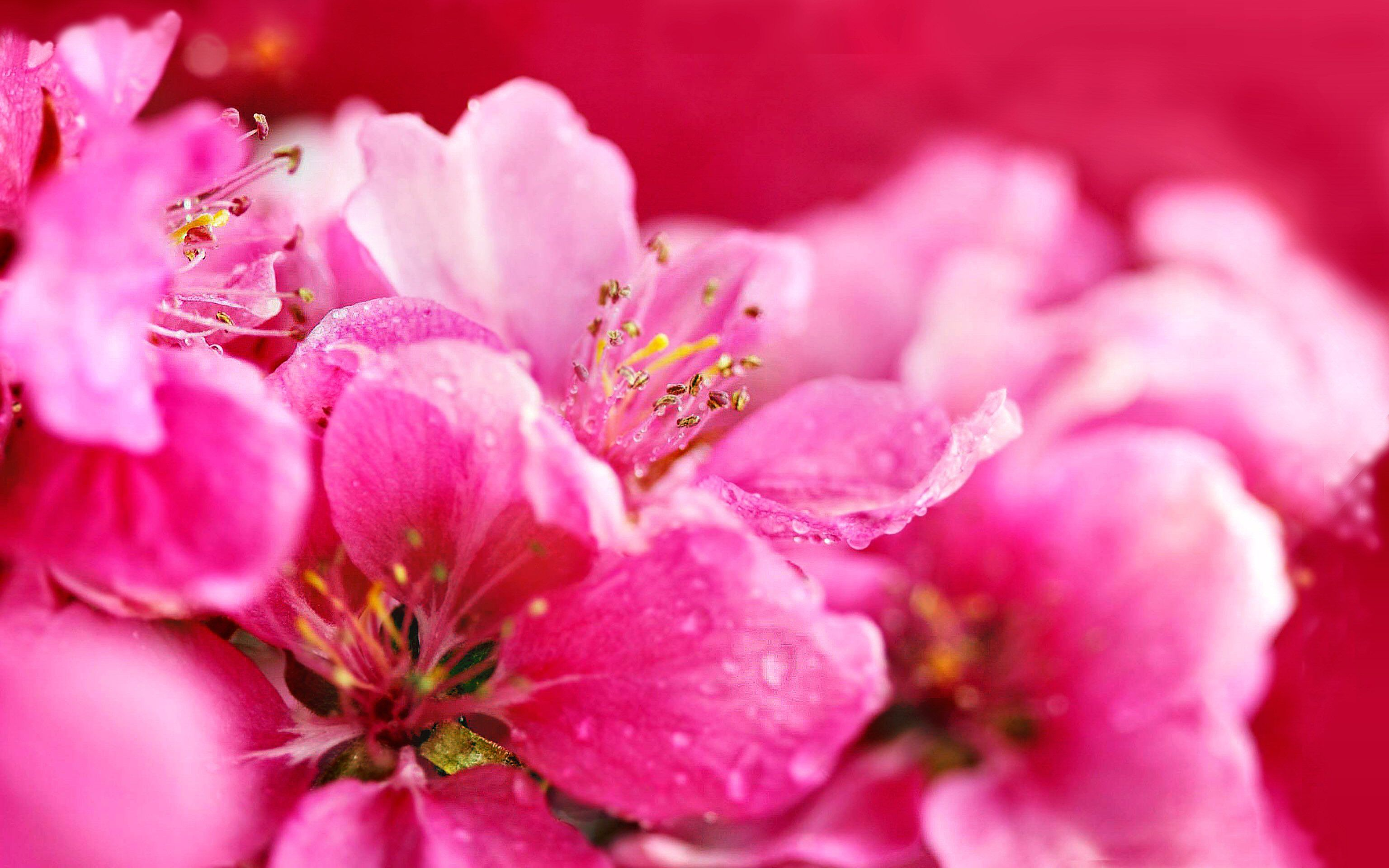 Terre/Nature - Fleur - Opus - Pastel - Rose - Nature - Highres Fond d'écran | Terre nature ...