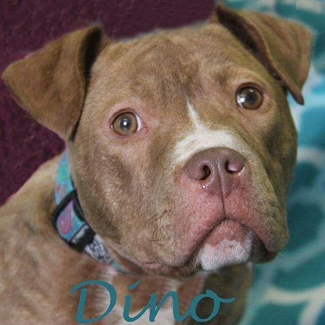 Dino Southfield Mi Adoptapet Adopt Pet Dog Pitbull Michigan No Kill Animal Shelter Animal Shelter Animals