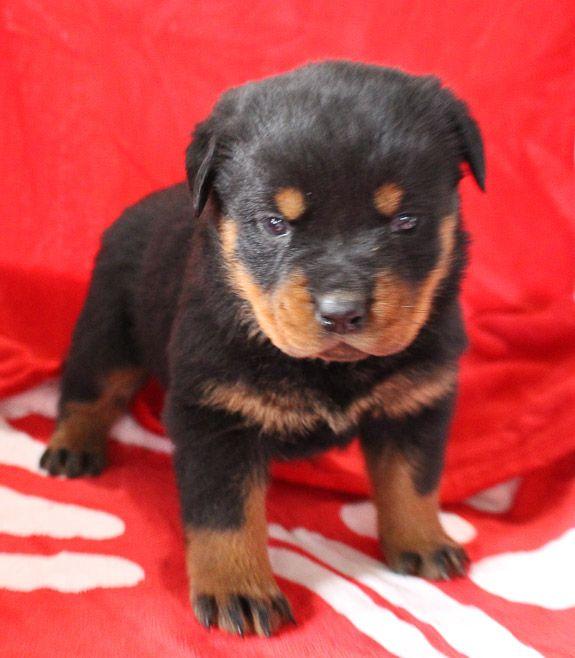 Dora Female Iccf Cane Corso Pup For Sale In Grabill Indiana