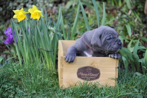 Litter Of 6 Cane Corso Puppies For Sale In Vancouver Wa Adn