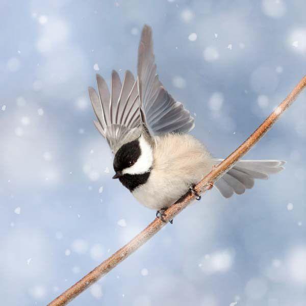 Chickadee in Snow Bird Photography Print by Allison Trentelman