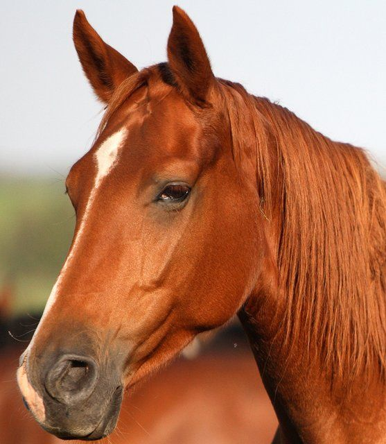 Image result for horse head