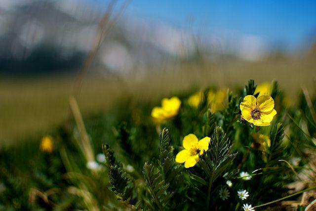 Tundra flowers photos flower and ranunculus tundra flowers flickr photo sharing mightylinksfo