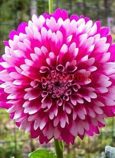 100 Pcs Bag Dahlia Flower Seeds Bonsai Flower Seeds Bright Blue Dahlia Flowers Chinese Peony Home Garden Potted Pl Dahlia Flower Beautiful Flowers Flower Seeds