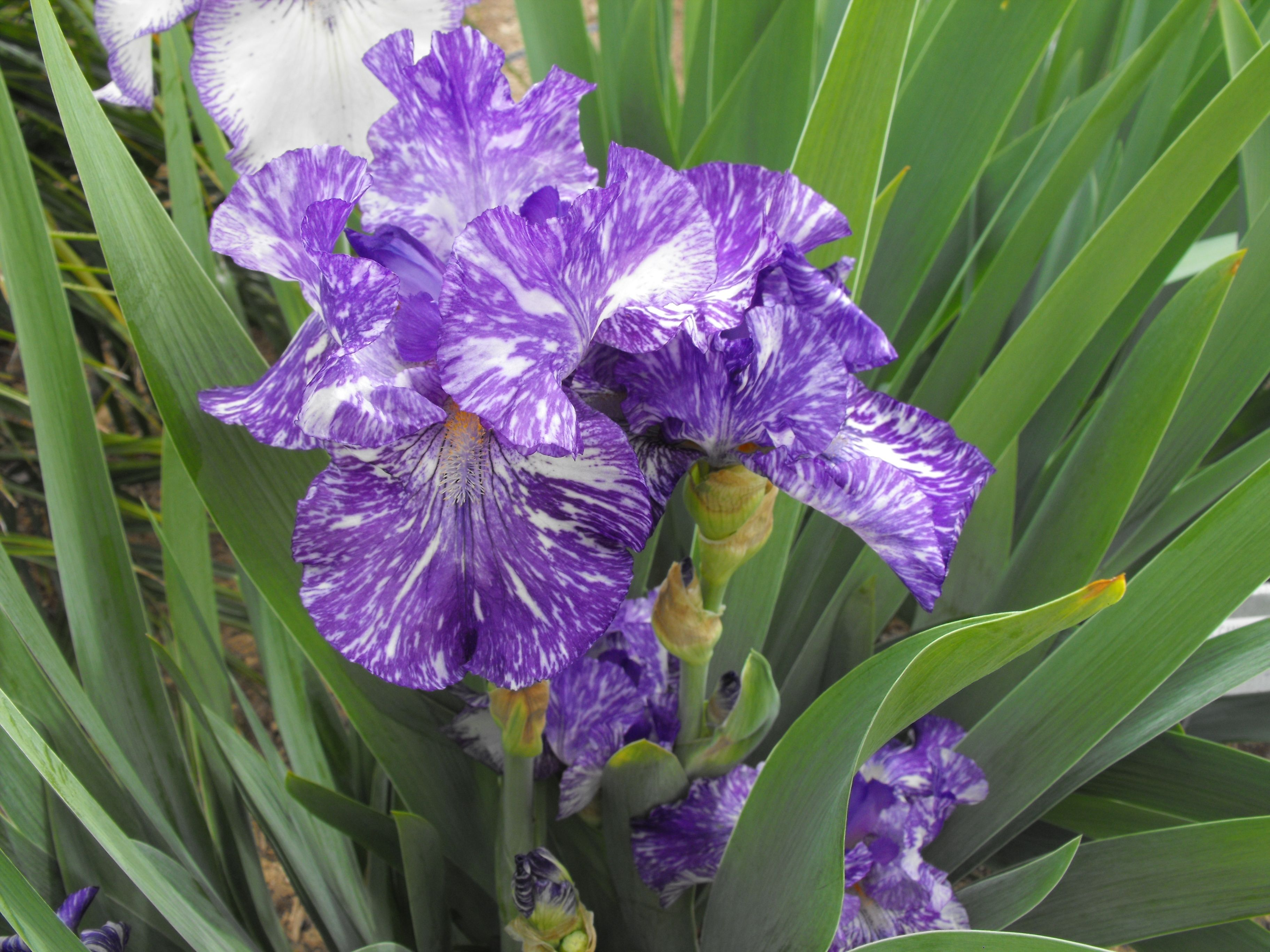 Purple And White Speckled Iris Flowers Plants Posy