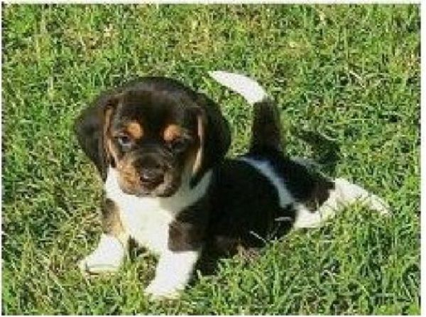 Queen Elizabeth Pocket Beagle Puppy Just Stretching His Legs In