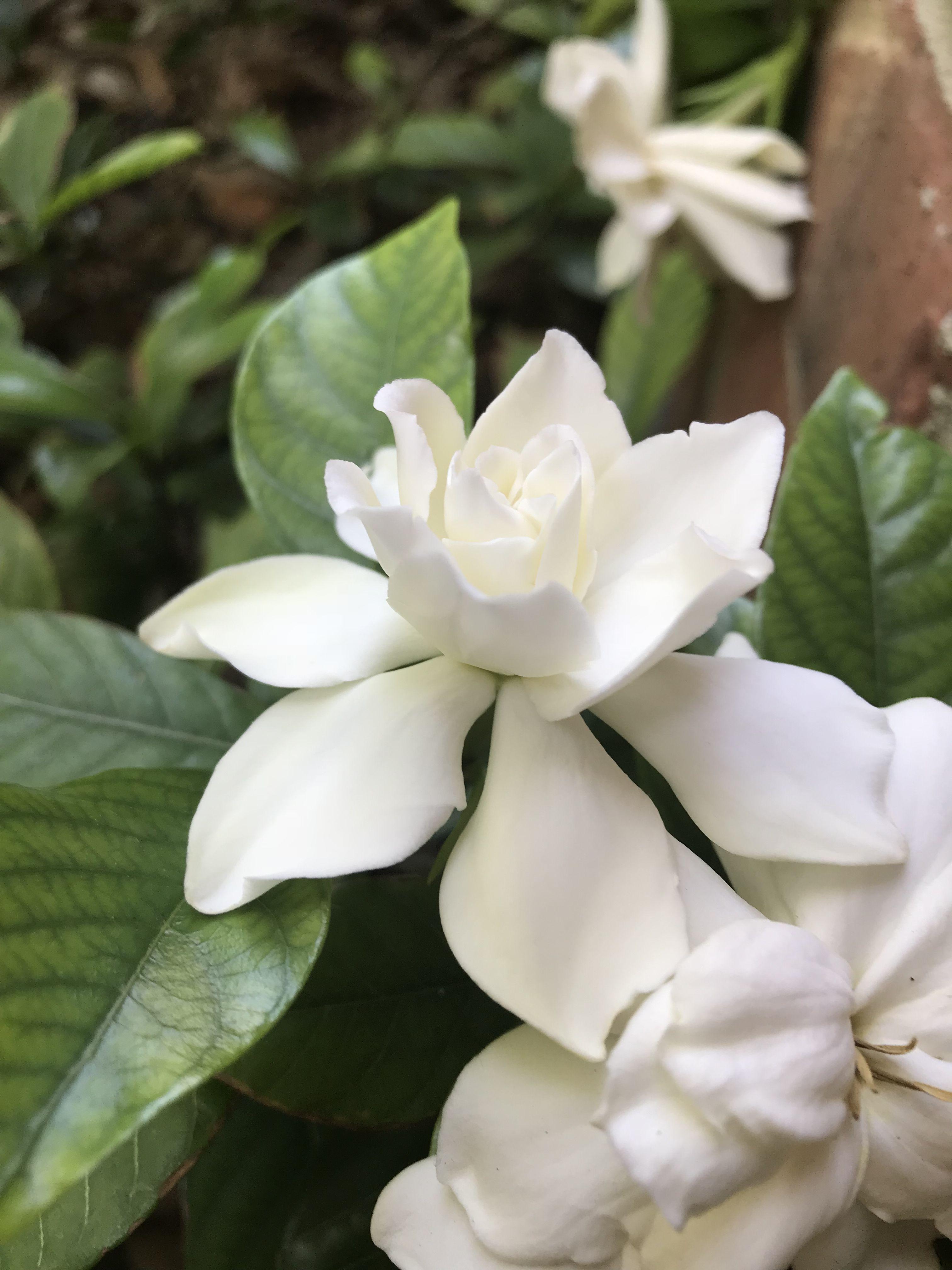 Gardenia Garden Plants