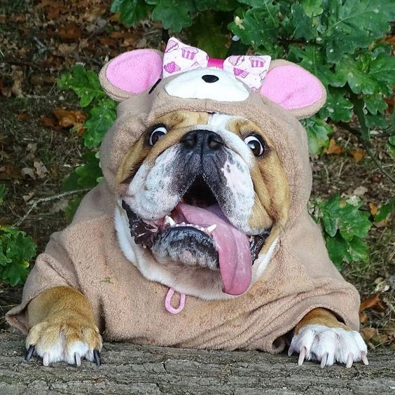 5 Reasons Bulldogs Are Awesome Videos Bulldog Puppies English