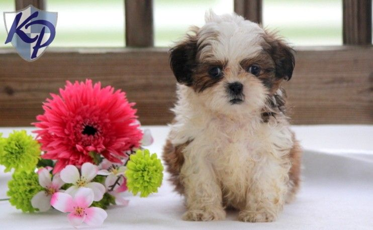 Puppy Finder Find Buy A Dog Today By Using Our Petfinder Shih Tzu For Sale Shih Tzu Puppy Puppies For Sale