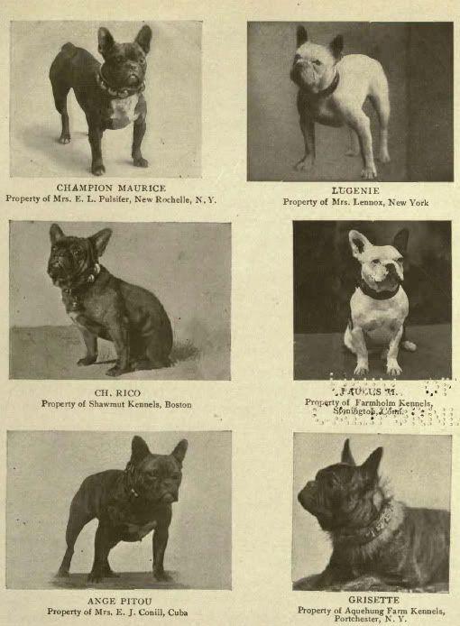 1905 French Bulldogs Ch Maurice Lugenie Ch Rico