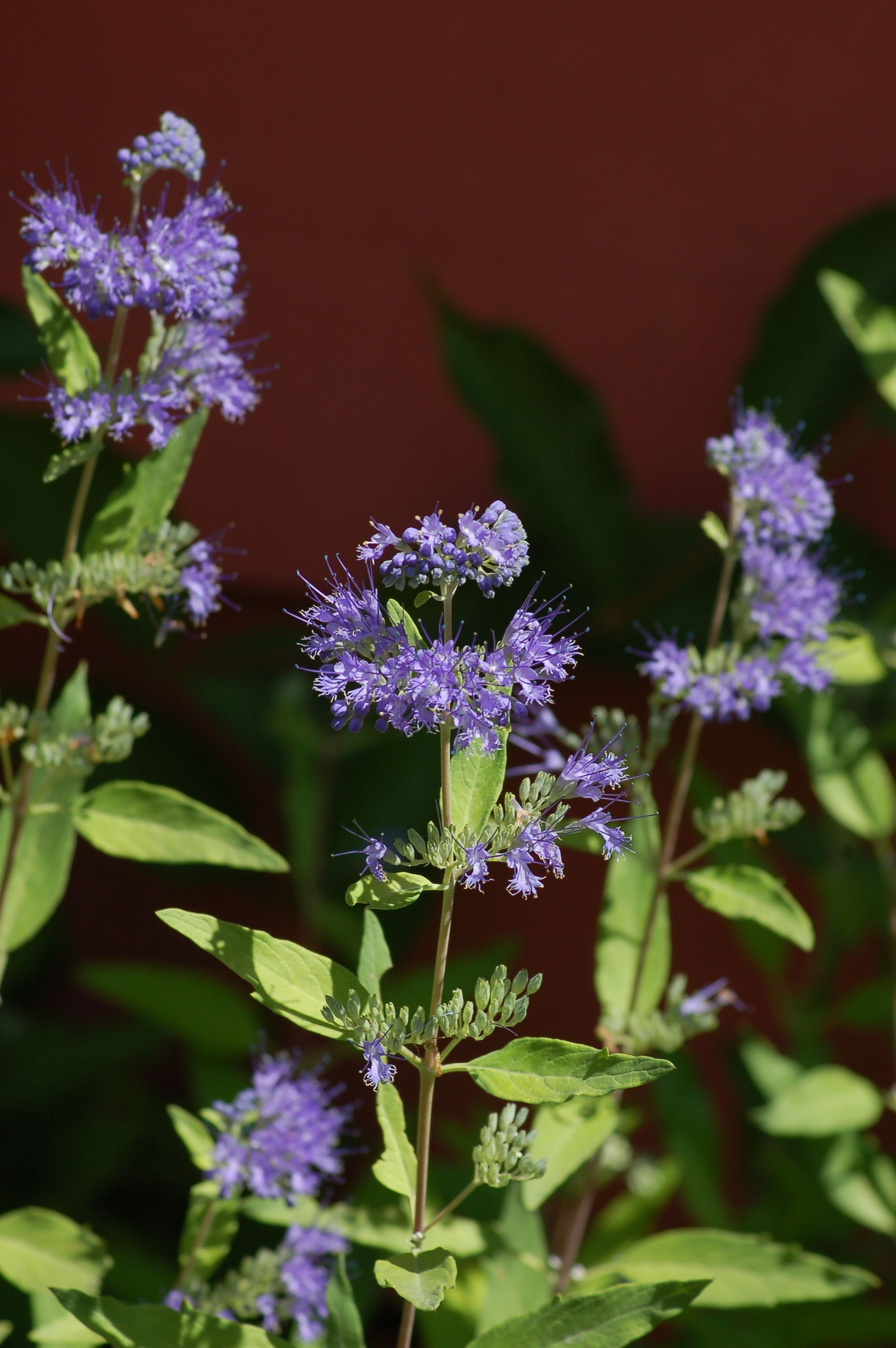 Bluebeard (Caryopteris) is a late-blooming shrub. The fact that it blooms so late in the summer makes it useful for extending the season of floral color in your yard. It also attracts honey bees and butterflies, as I relate here: http://landscaping.about.com/od/galleryoflandscapephotos/ig/Pictures_Flowering_Shrubs/caryopteris_with_bee.htm