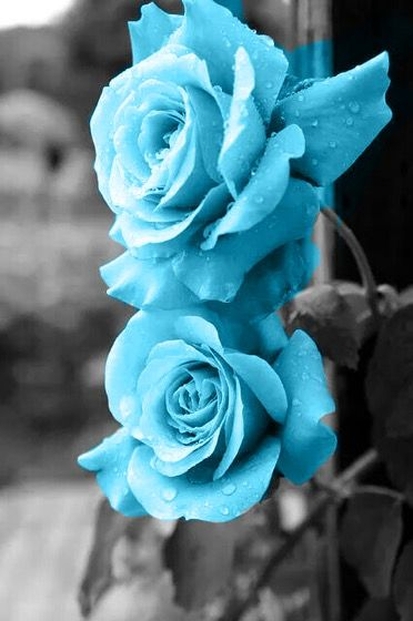Blue Roses Light Blue Flowers Blue Roses Wallpaper Beautiful Flowers Pictures