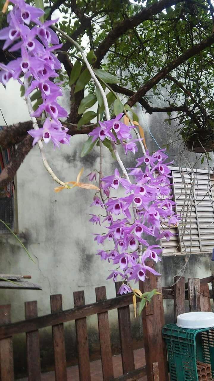Dendrobium Orquídeas - Uma série de borboletas vivas !!! Flores falei para mim mais do que eu posso dizer em palavras escritas. Eles são os hieróglifos dos anjos, amado por todos os homens pela beleza de seu caráter, embora poucos conseguem decifrar mesmo fragmentos de seu significado.