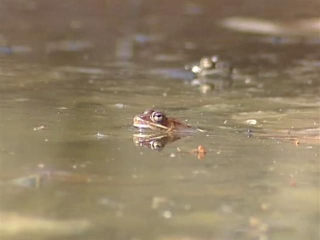 Drought Tough on Frogs and Salamanders (WPTZ discusses this year's vernal pools with Vermont herpetologist Jim Andrews.)  Short article, video.