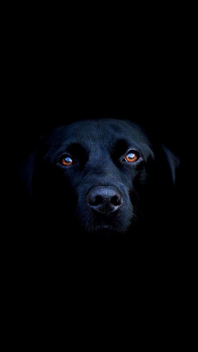 Black Dog Iphone 5s Wallpaper Download Iphone Wallpapers Ipad Wallpapers One Stop Download Black Dog Black Labrador Dogs