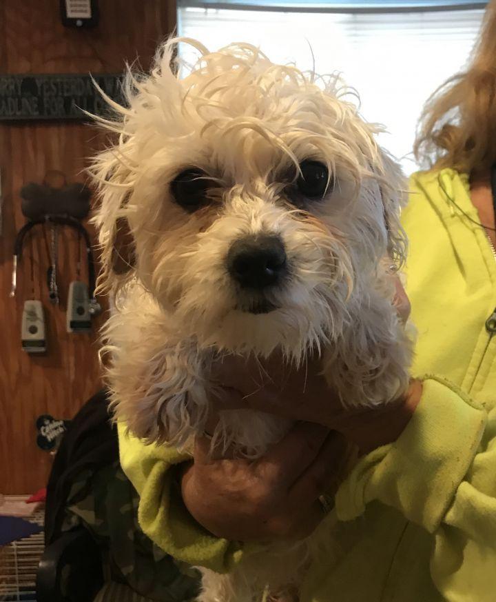 Adopt Betty Boop on Betty boop, Pet adoption, Maltese dogs