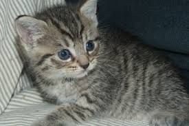 Cute Grey And White Striped Fluffy Kitten Google Search Grey
