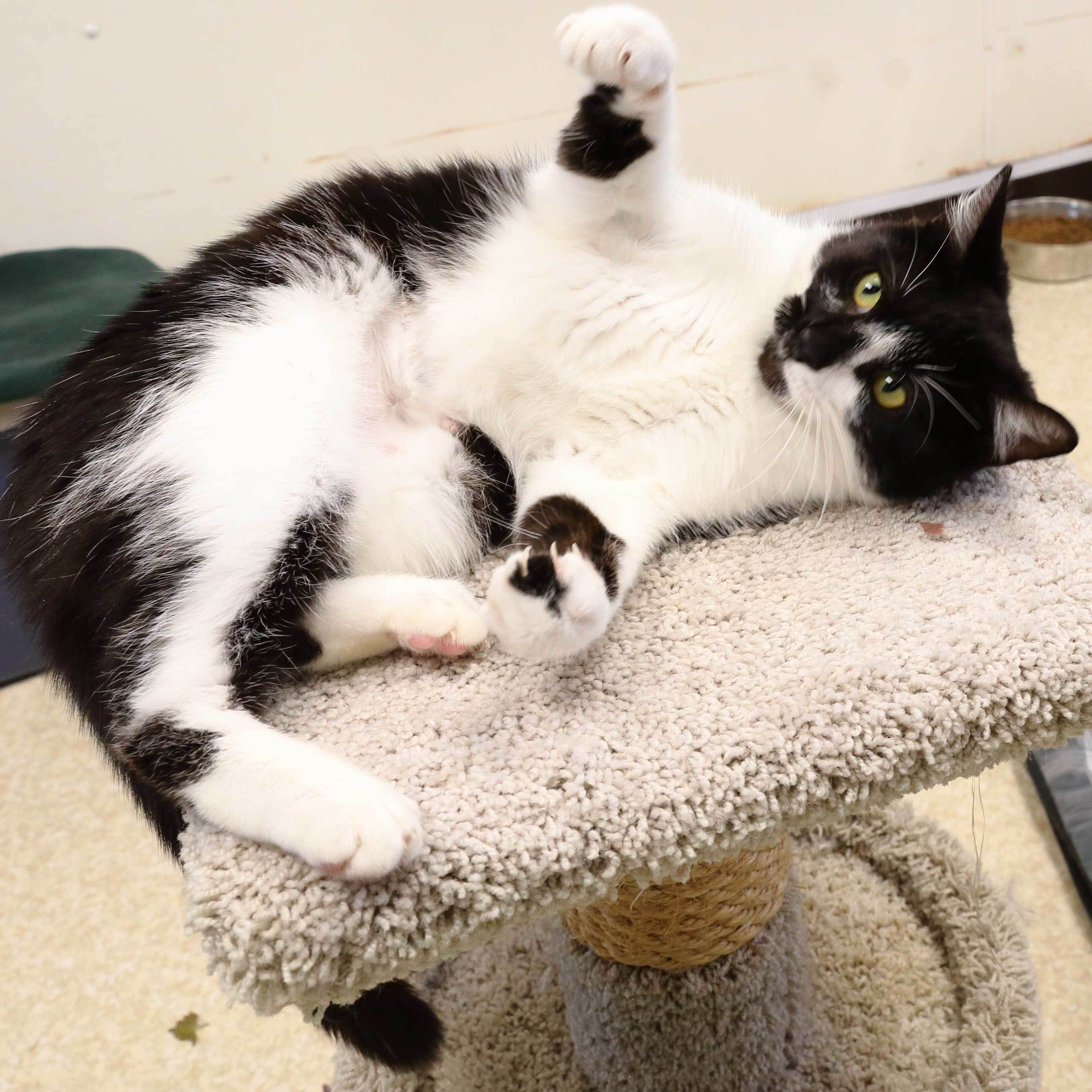 Adopt Leia On Petfinder In 2020 Cat Adoption Help Homeless Pets Cats