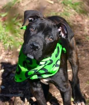 SAFE 11-18-2015 by Posh Pets Rescue --- Staten Island Center MELLOW – A1057358  MALE, BR BRINDLE, PIT BULL MIX, 4 mos OWNER SUR – EVALUATE, NO HOLD Reason MOVE2NYCHA Intake condition EXAM REQ Intake Date 11/09/2015 http://nycdogs.urgentpodr.org/mellow-a1057358/