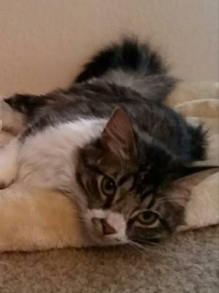 Lost Cat Highland Park Texas Tx United States L33015 Cats Losing A Pet Find Pets