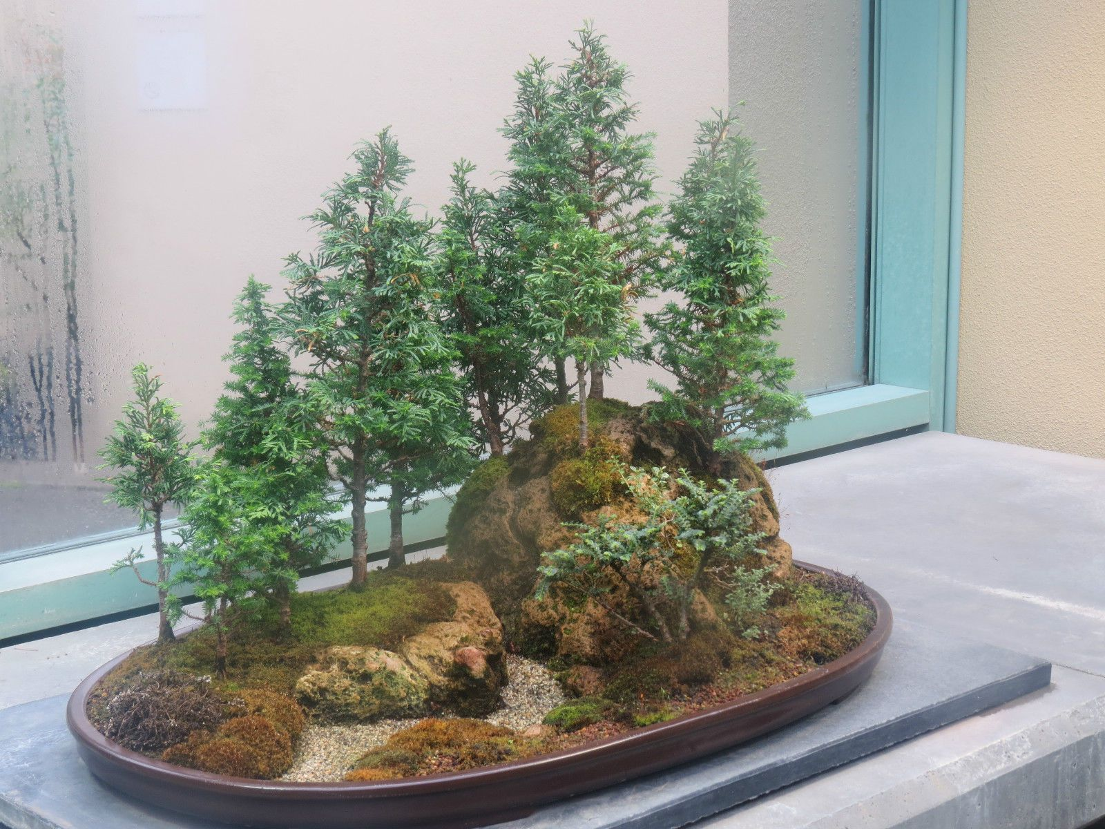 Rare Redwood Bonsai Japanese Redwood Bonsai Tree Seeds Uk Stock Ebay Redwood Bonsai Bonsai Tree Bonsai Tree Types