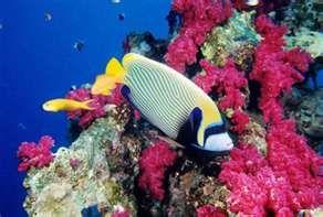 Red Sea Diving near Sharm al Sheik.  Emperor Angel Fish.