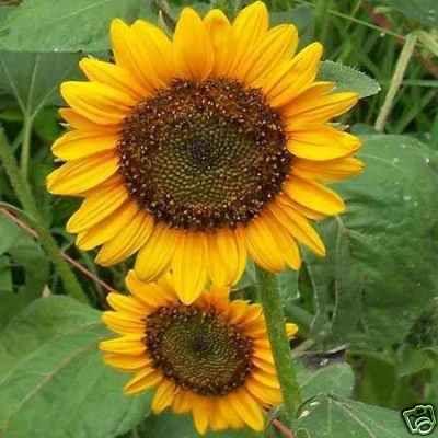 Sunflower Dwarf Sunspot 50 Seeds Short Big Blooms Dwarf Sunflowers Flower Seeds Sunflower
