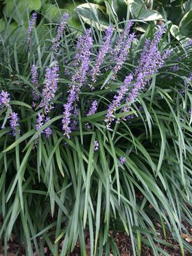 Liriope Big Blue Lilyturf Monkey Grass Hostas And Companion Plants