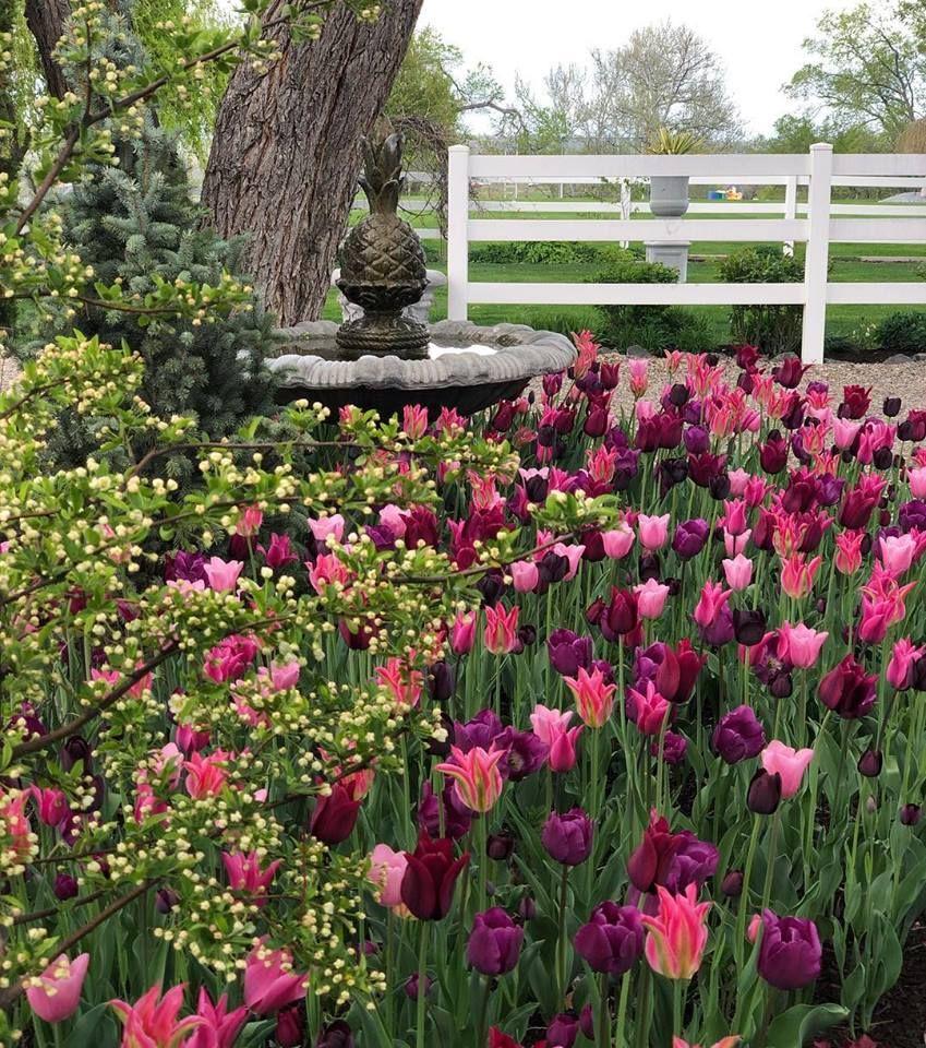 Pinotage Blend Tulips Spring Bulbs Garden Bulbs Garden Design