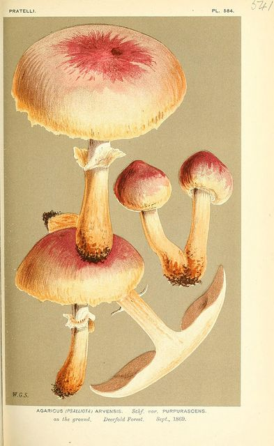 N348 W1150 Fungi Art Botanical Art Mushroom Art