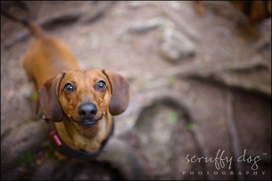 Ontario Pet Photography Dachshund Photo Oscarrollocharlie 207