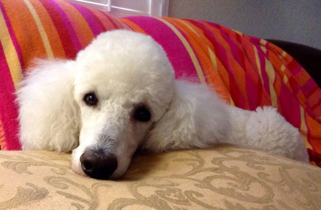 Resultado de imagen para poodle staring