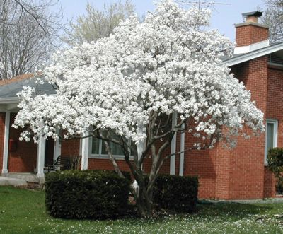 Star Magnolia Tree Is All This Tree Wears In April And Early May