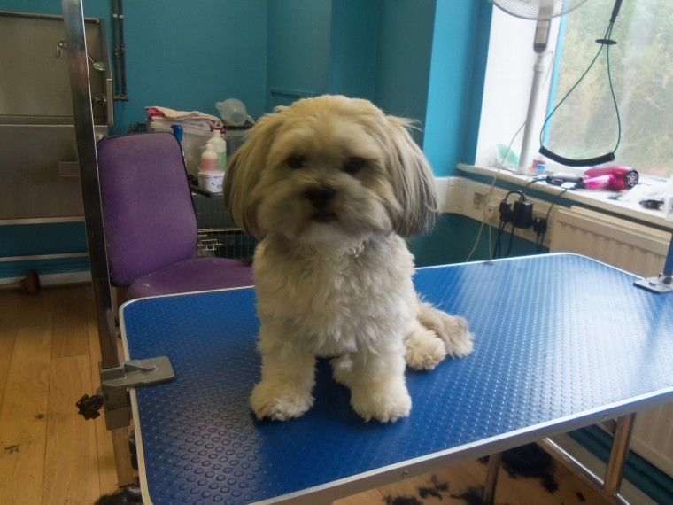 Toelettatura Yorkshire ~ This is my dog daddy a yorkshire lhasa