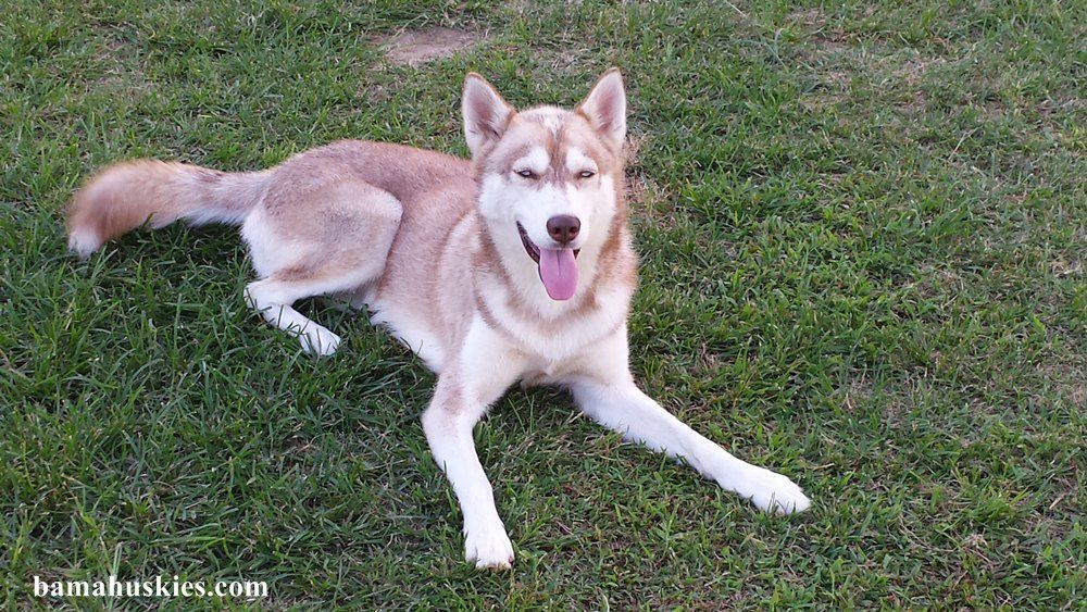 Siberian Huskies Update Bama Huskies Have Husky Puppies For Sale