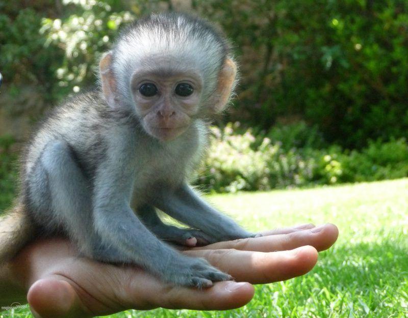 Affe Als Haustier Eine Gute Idee Deko Feiern
