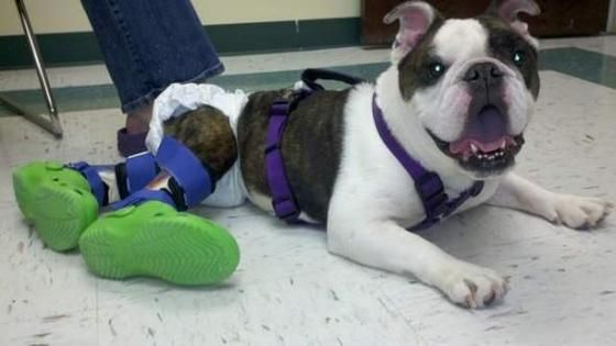 Paralyzed Bulldog Takes His Very First Steps Thanks To Prosthetic