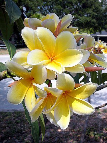Lemon Twirl Plumeria Plumeria Flowers Beautiful Flowers Flowers Nature