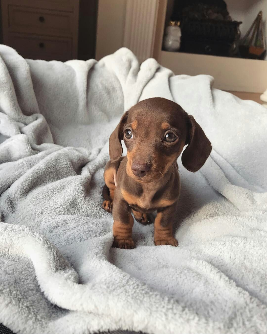 Dachshund Products Apparel And Gifts Puppies Weenie Dogs Cute
