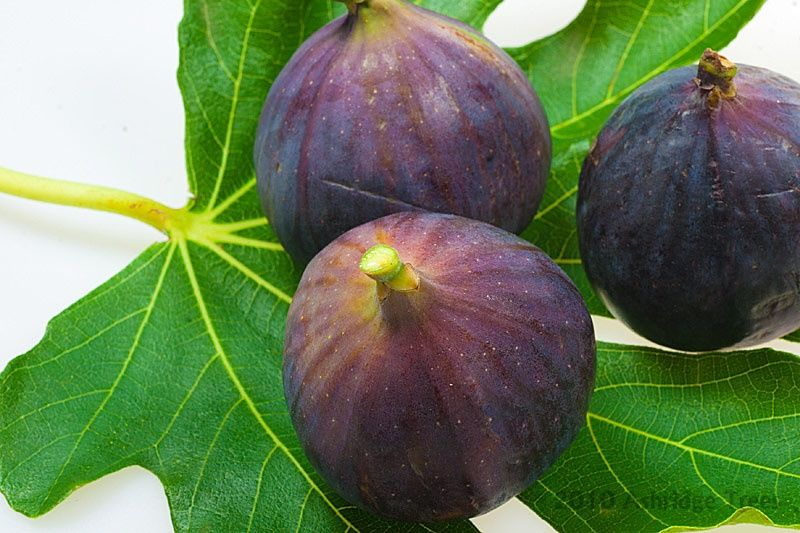 Edible Fig Tree Ficus /'Brown Turkey/' AGM